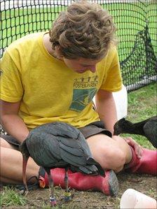 Foster parent with northern bald ibis