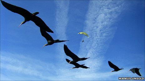 Northern bald ibis with  microlight (Team Waldrapp)
