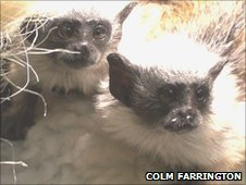 Baby Pied Tamarins Photo Colm Farrington/Durrell