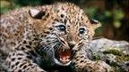 http://news.bbcimg.co.uk/media/images/49573000/jpg/_49573622_z934619-persian_leopard_cub-spl.jpg