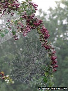 Hawthorn berries laced with cobwebs - from BBC Autumnwatch's Flickr group