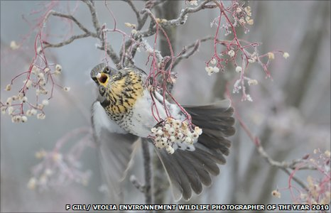 Young Wildlife Photographer of the Year Fergus Gill's winning image of a fieldfare, the frozen moment