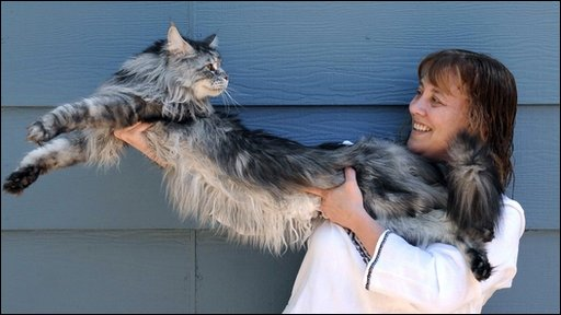 Maine Coon cat Stewie is thought to be the world's longest cat!