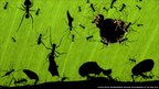 Veolia Environnement Wildlife Photographer of the Year, Bence Mate's winning image of leafcutter ants in Costa Rica, A Marvel of Ants