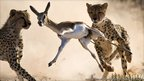 Bridgena Barnard's picture of a springbok being killed by two cheetahs, winner of the Veolia Environnement Wildlife Photographer of the Year 2010 mammal behaviour category