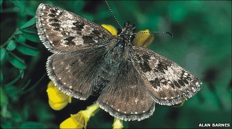 Dingy skipper butterfly (Photo: Alan Barnes)