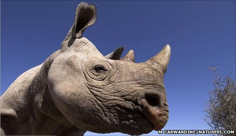 Black rhino (Image: Mark Carwardine/ Naturepl.com)