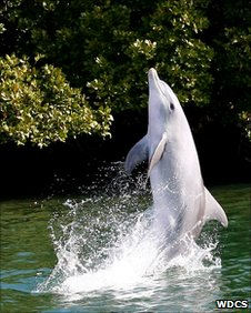 Wave the dolphin, tail-walking