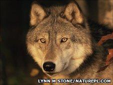 Grey wolf  (Canis lupus) Image: Lynn M Stone/ Naturepl.com