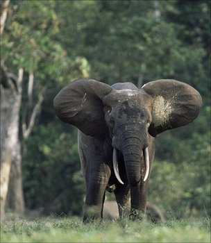 Elephant (Image: BBC)