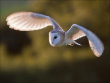 Barn owl in Suffolk