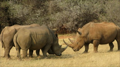 Three white rhinos