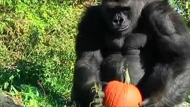 Gorilla with pumpkin