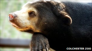 Sun bear at Colchester Zoo