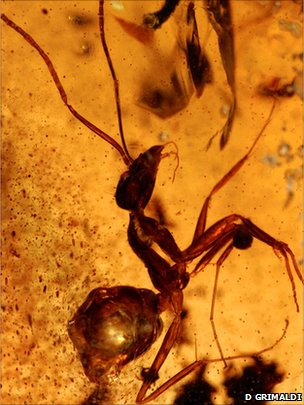 Insect found in amber in India