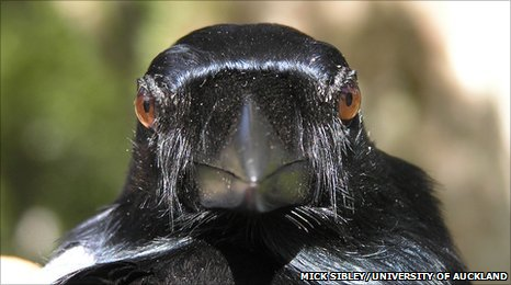 New Caledonian crow (credit: Mick Sibley/University of Auckland)