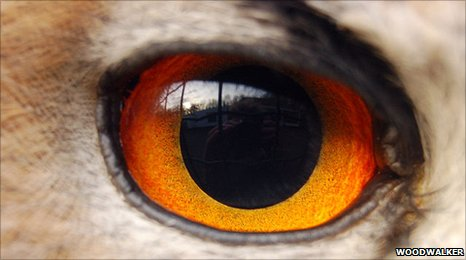 An eagle owl's eye (c) woodwalker