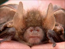 A brown long-eared bat close up