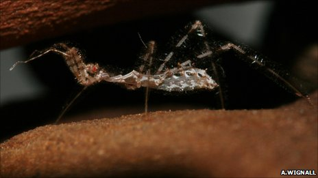 Assassin bug (Image: Anne Wignall)