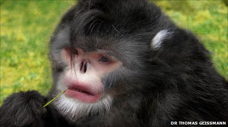 A digital reconstruction of the Burmese snub-nosed monkey (c) Dr Thomas Geissmann