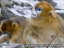 Golden snub-nosed monkeys (c) Gavin Maxwell / Naturepl.com