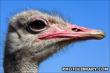 Ostrich (Image: Photolibrary.com)