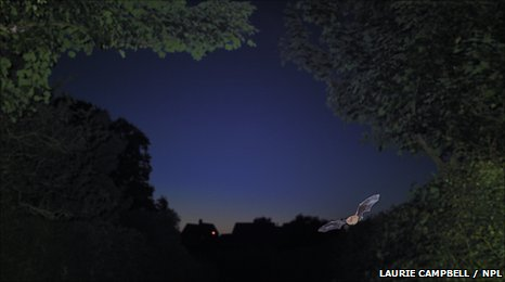 Pipistrelle bat hunts by twilight