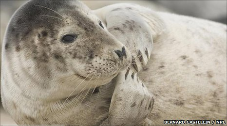 Adult grey seal (Bernard Castelein /NPL)