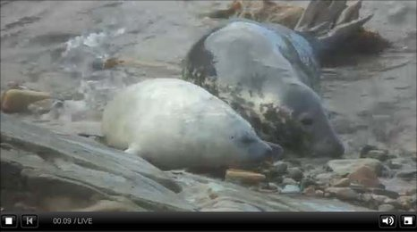 Autumnwatch web cam footage of grey seals in Orkney