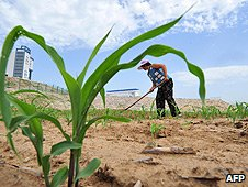 A farmer in northern China's Hebei province tends to her dry corn field.
