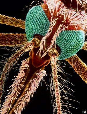 The mosquito carries the malaria parasites