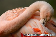 Greater flamingo (Image: Fabio Liverani/naturepl.com)