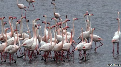 Flamingos in southern Spain (Image: A. Garrido)