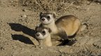 Black-footed ferret (Wendy Shattil/Bob Rozinski)