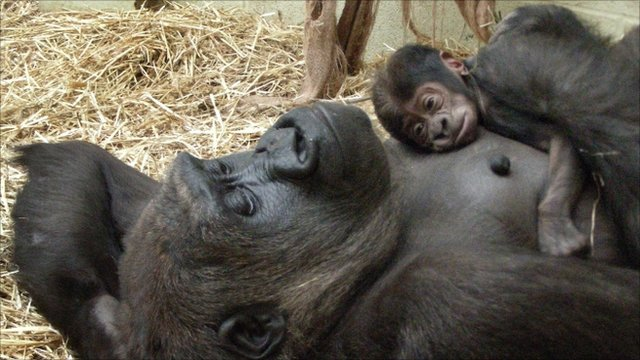 Baby gorilla with his mother Mjukuu