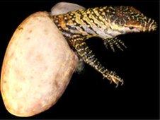 A parthenogenic Komodo dragon hatching from its egg (Ian Stephen)
