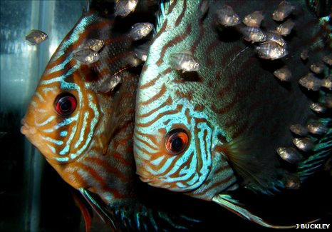 Discus fish with fry surrounding it (Image: Jonathan Buckley)