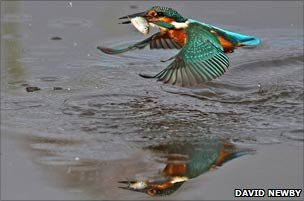 Diving kingfisher mirrored on surface