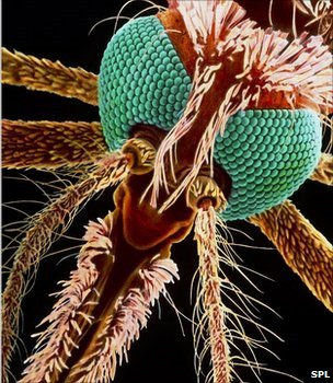 Close-up image of a mosquito