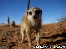 Meerkat (Image: Simon King/naturepl.com)