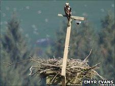 Osprey nesting at Cors Dyfi