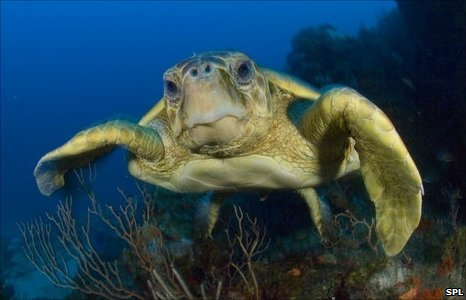 Loggerhead turtle (Image: Science Photo Library)