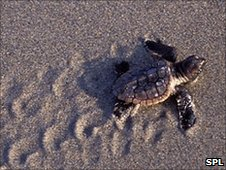 Loggerhead turtle hatchling (Image: Science Photo Library)
