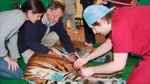 Tiger under sedation
