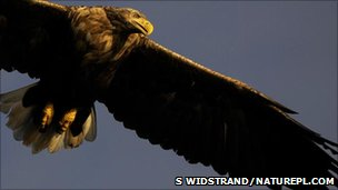 White-tailed sea eagle (Image: Staffan Widstrand/Naturepl.com)