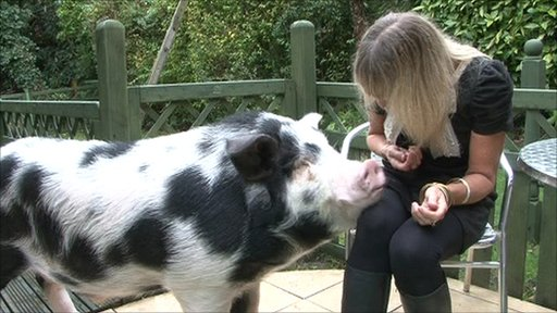 Percy the 'micro pig'