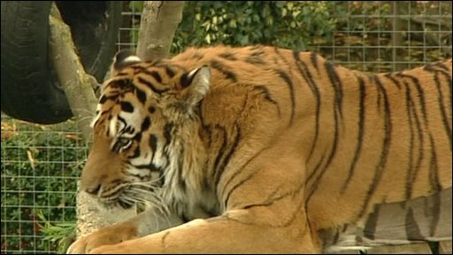 Amber the tiger at Shepreth Wildlife Park near Cambridge