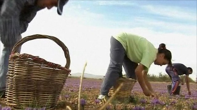 Workers picking saffron flowers