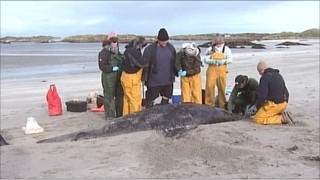 Scientists examine the remains of the whales on Rutland Island