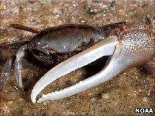 Adult fiddler crab